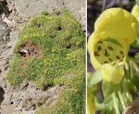 Calceolaria pinifolia