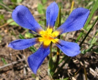 Calydorea xyphioides