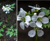 Cardamine geraniifolia