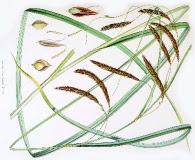 Carex darwinii