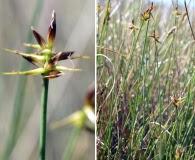 Carex microglochin