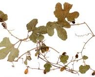 Cayaponia citrullifolia