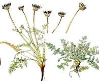 Chaerophyllum daucoides