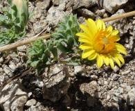 Chaetanthera flabellata