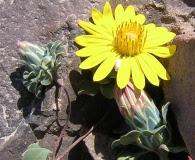 Chaetanthera glabrata