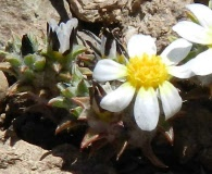 Chaetanthera pusilla