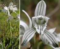 Chloraea multiflora