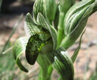 Chloraea viridiflora