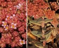 Cistanthe amaranthoides
