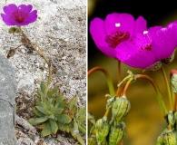 Cistanthe grandiflora