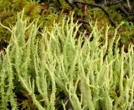 Cladonia farinacea
