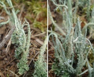 Cladonia scabriuscula