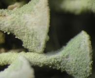 Cladonia subsquamosa