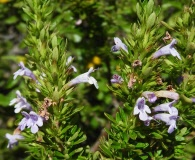 Clinopodium chilense