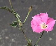 Convolvulus chilensis