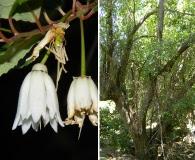 Crinodendron patagua
