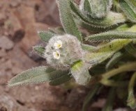 Cryptantha capituliflora