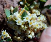 Cuscuta chilensis
