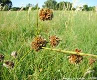 Cyperus reflexus