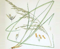 Deschampsia kingii