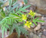 Descurainia pimpinellifolia
