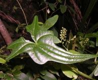 Dioscorea reticulata