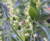 Dioscorea saxatilis