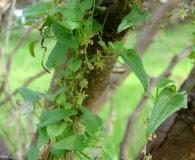 Dioscorea variifolia