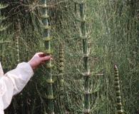 Equisetum giganteum