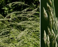 Eragrostis mexicana
