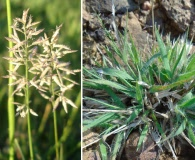 Eragrostis neesii