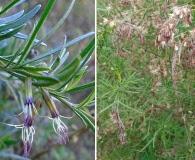 Eupatorium buniifolium
