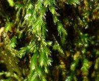 Fissidens rigidulus