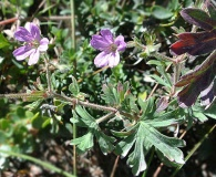 Geranium magellanicum