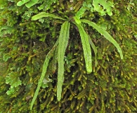 Grammitis magellanica