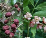 Guarea macrophylla