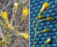 Haplopappus cerberoanus