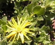 Haplopappus deserticolus