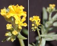 Heliotropium chrysanthum