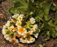 Heliotropium megalanthum