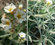 Heliotropium mendocinum