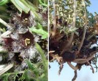 Jaborosa leucotricha