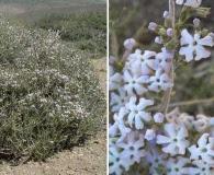 Junellia connatibracteata