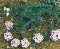 Junellia micrantha