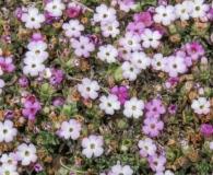 Junellia uniflora