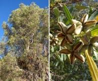 Kageneckia angustifolia