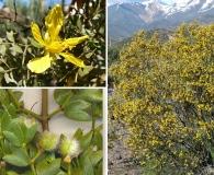Larrea cuneifolia