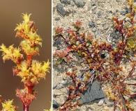 Lastarriaea chilensis