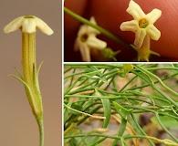 Leptoglossis linifolia