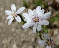 Leucheria achillaeifolia